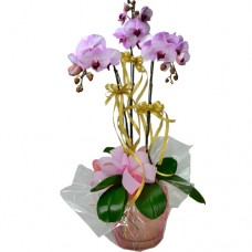 3pcs Taiwan Pink Color Orchids